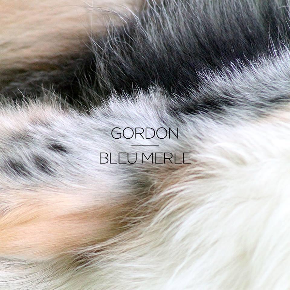 Gordon x Bleu Merle
